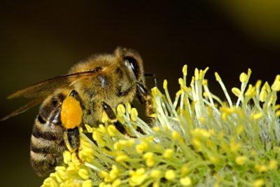 Bienen stehen auf Cannabis – So könnte Hanf dem Bienensterben entgegenwirken