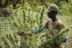 Flächendeckende Legalisierung von Cannabis in den USA schon 2022?