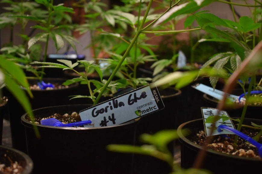 New York, Virginia und Marokko: Cannabis-Legalisierung schreitet voran