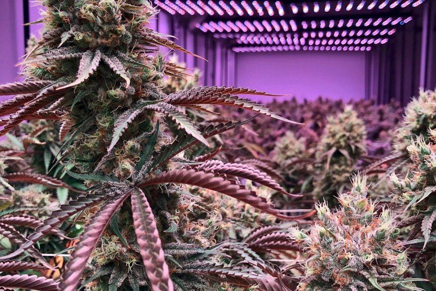 Staat gibt grünes Licht für den Anbau von 1,8 Tonnen Cannabis