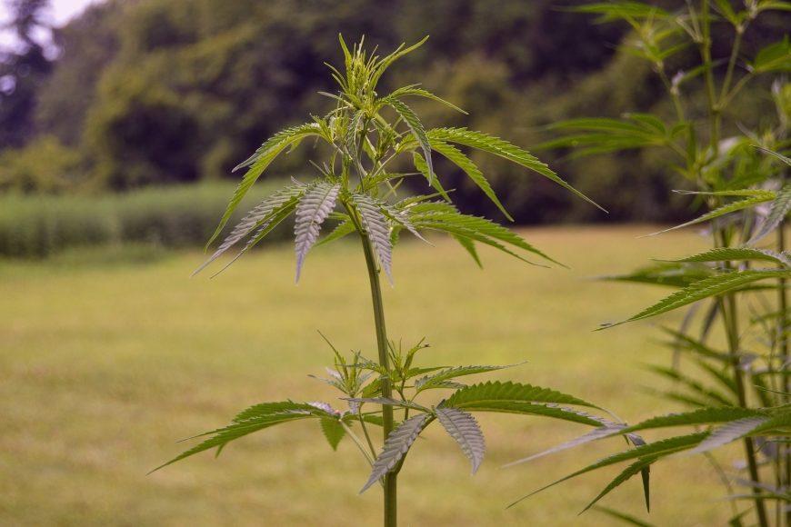 """Cannabis-Prohibition: Göttinger """"Blumenkinder"""" treiben Polizei in den Wahnsinn"""