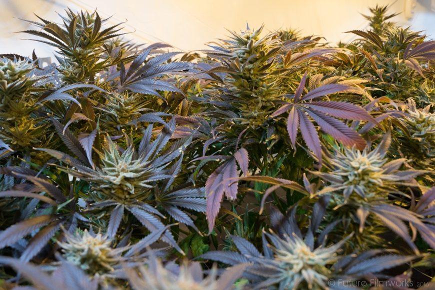 Demecan: Deutsches Cannabis-Startup sammelt sieben Millionen Euro ein
