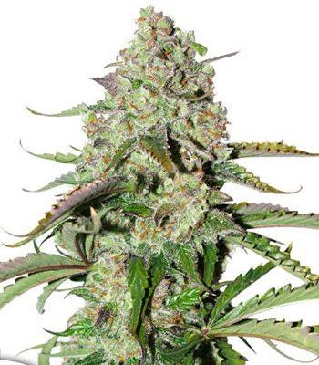 Colorado Seed