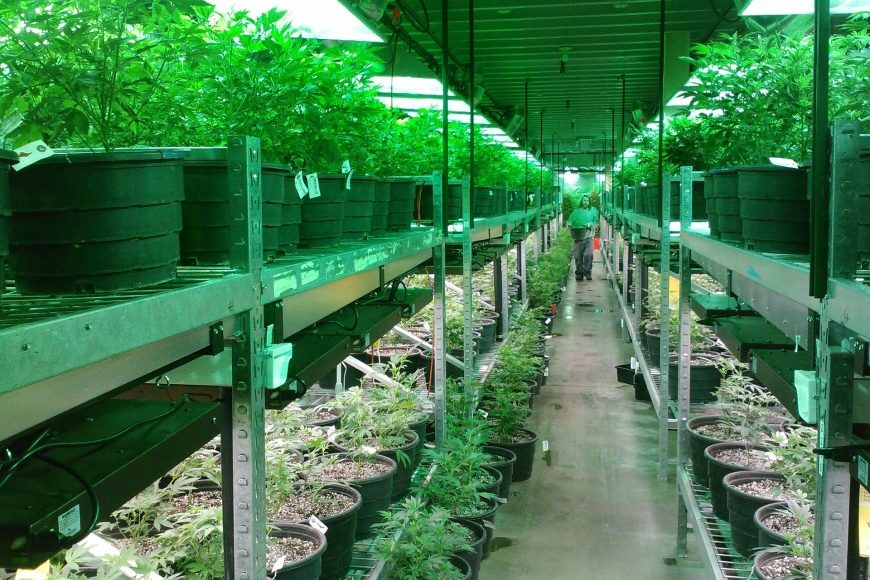 Wirtschaftsfaktor Cannabis – Gras wird zum globalen Milliardengeschäft